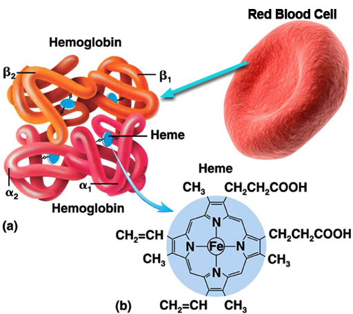 diagram of how oxygen is carried by the hemoglobin